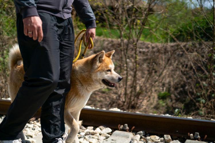 【秋田犬】の散歩に適切な「時間帯」は、季節によって異なる!