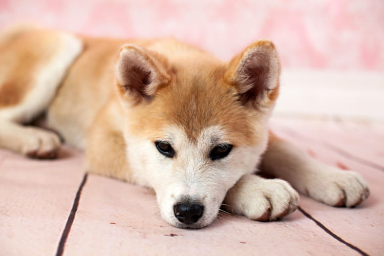 【秋田犬】が散歩を嫌がる(歩かない)場合の理由&対処法