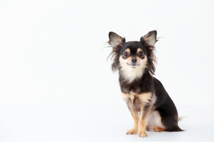 【獣医師監修】チワワをハッピーに過ごさせる秘訣!性格や寿命、飼い方、注意する病気は?
