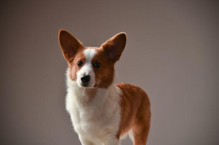 【獣医師監修】犬のフィラリアの原因や症状(初期・末期)感染率は?治療法や予防方法!
