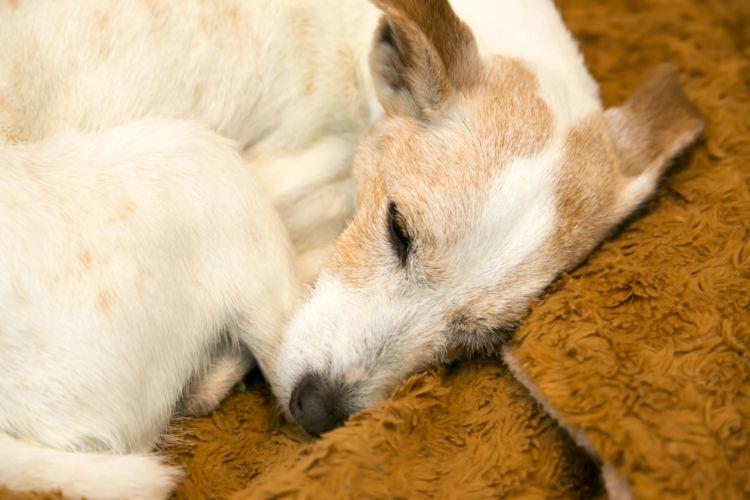 犬のフィラリア、初期症状と発症後の末期症状