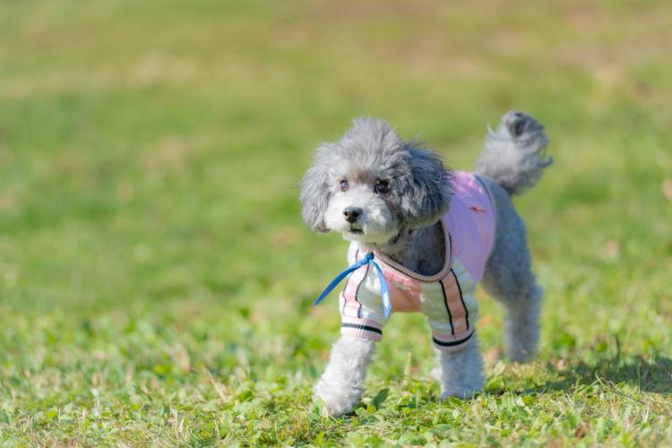 【獣医師監修】犬のノミの見つけ方や症状は?駆除・退治方法、治療・予防対策、二次感染に注意!