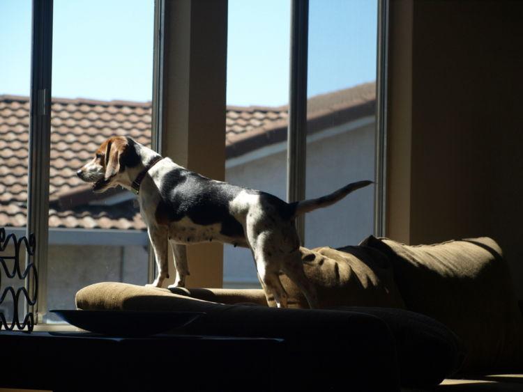 犬の警戒吠え【家の中】