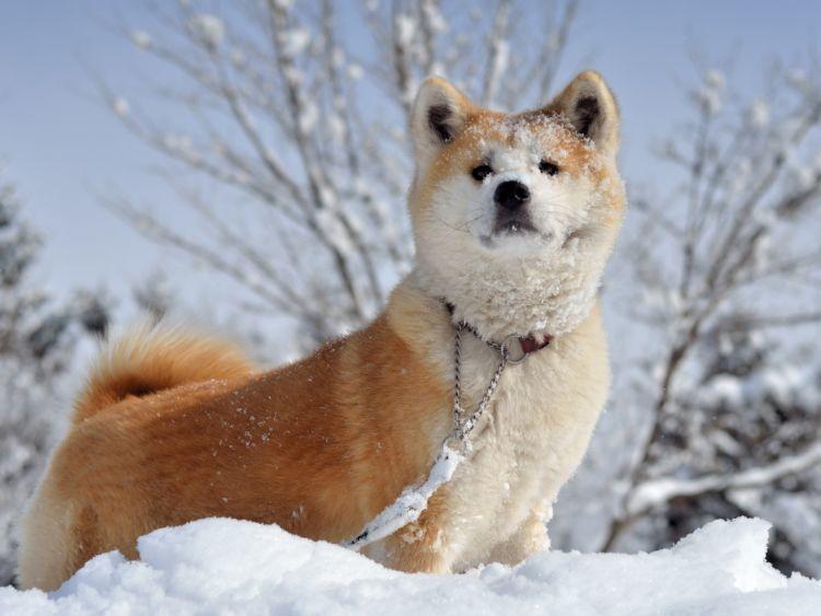 【獣医師監修】秋田犬のルーツや性格から、かかりやすい病気と暮らしのヒントまで