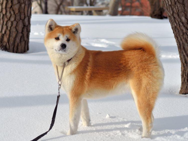 秋田犬の平均寿命は?