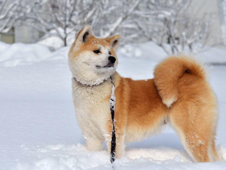 秋田犬と暮らす上での注意