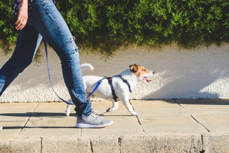 子犬のしつけの順番⑤【散歩】