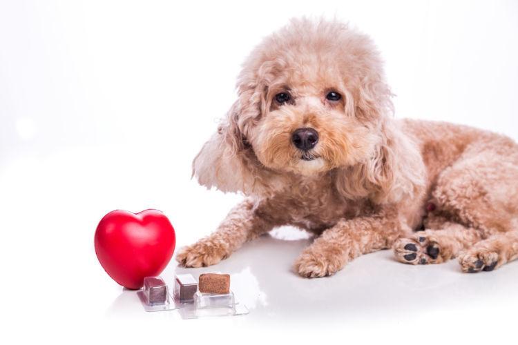 【獣医師監修】感染力が高いジステンパーから愛犬を守ろう