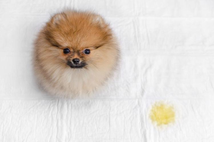 【ドッグトレーナー監修】子犬がトイレを覚えない…しつけ方は理屈がわかると簡単!?