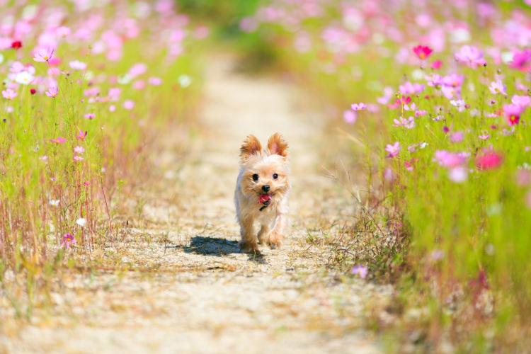 【ヨークシャー・テリア】の散歩はいつからしていいの?
