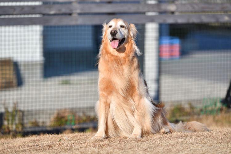 【獣医師監修】ゴールデン・レトリーバーの性格や平均寿命は?飼い方、注意する病気は?