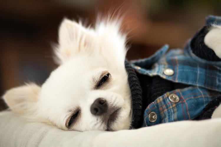 犬が犬回虫(回虫症)に感染した場合の症状