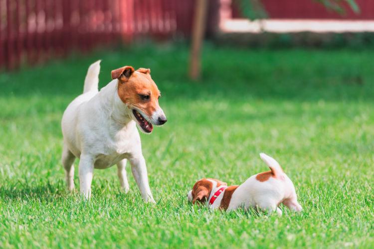 ジャックラッセルテリアの子犬・成犬・性別によるのしつけの違い