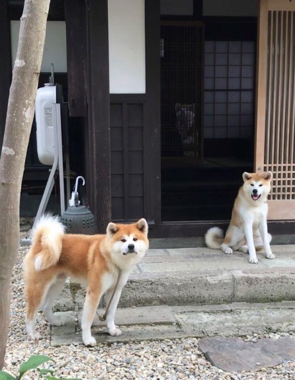 2頭の秋田犬が「縁」をつなぐ宿