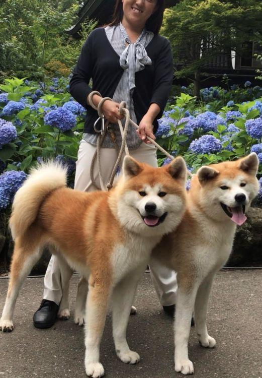 秋田犬とのお散歩体験も!暮らすように楽しむ角館の旅を