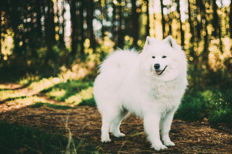 【獣医師監修】寒さに強いサモエドとハッピーな大型犬ライフ