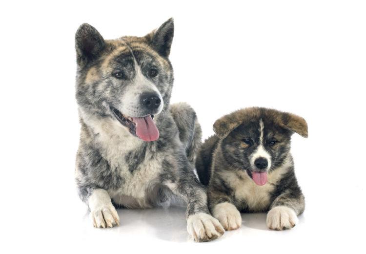 秋田犬の子犬・成犬・性別によるのしつけの違い