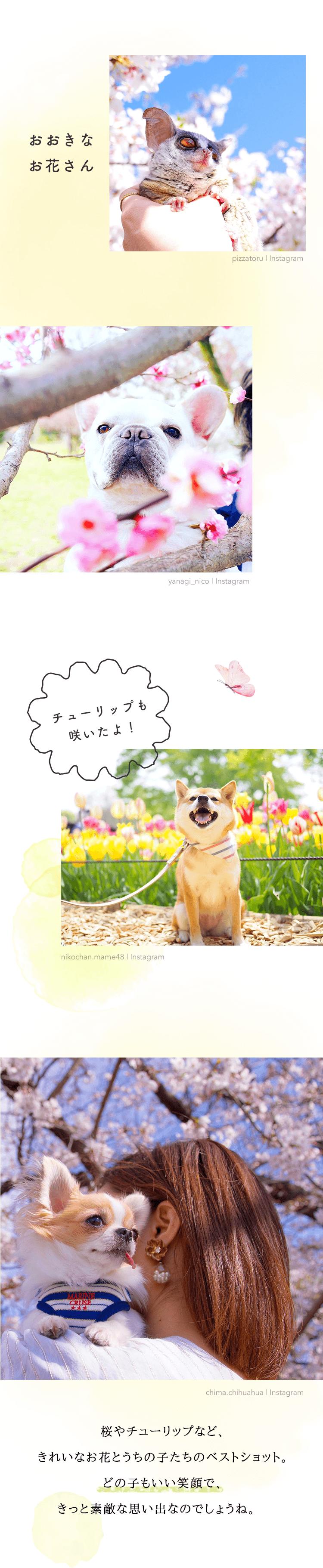 桜やチューリップなど、 きれいなお花とうちの子たちのベストショット。 どの子もいい笑顔で、きっと素敵な思い出なのでしょうね。