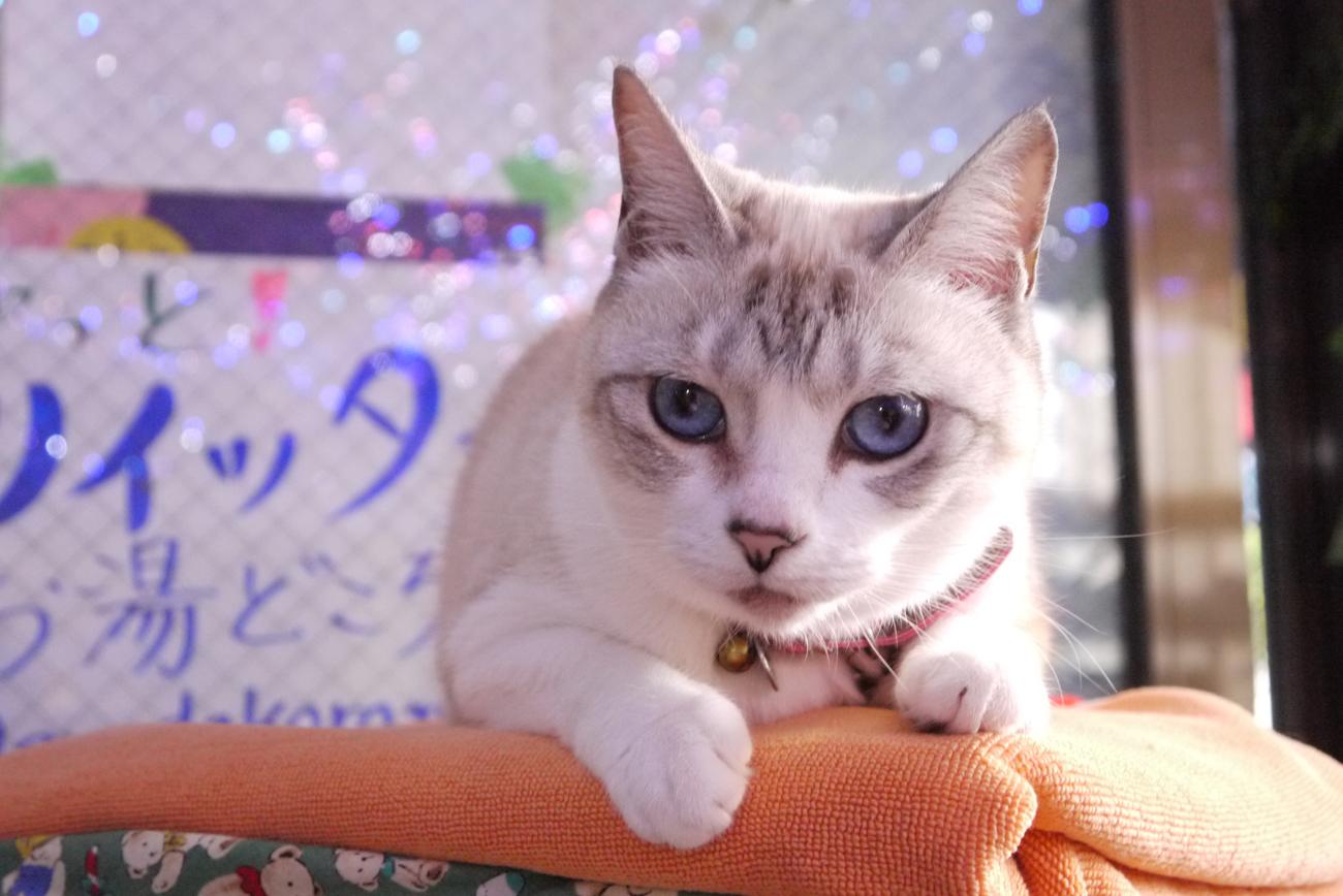 【猫びより】水色の瞳が魅力の愛すべき食いしん坊さん【狛江】(辰巳出版)