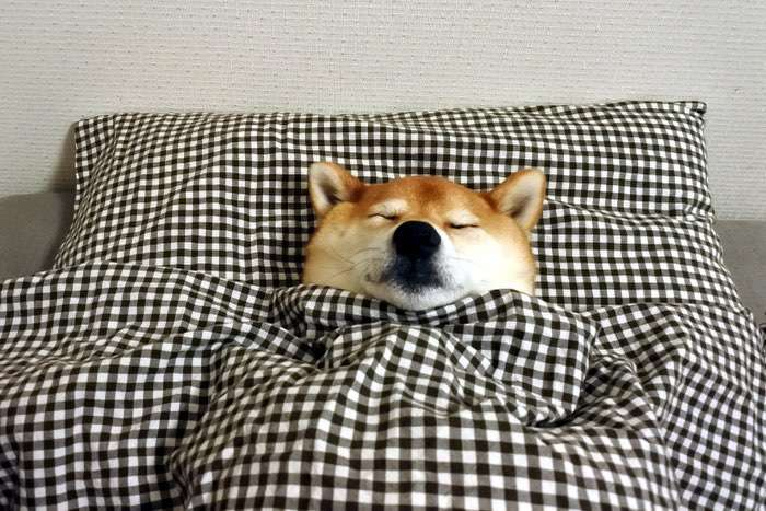 お布団にすっぽり包まれて…♪ ぬくぬくを味わう柴犬さんが可愛かった。禁断のベッドルーム写真集♡