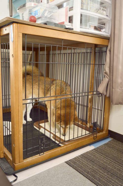 【犬の気持ちを想像すれば予防できる症状もある!】 柴犬のメンタルを守りたい(認知症編)