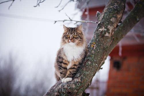メインクーンってどんな猫? 歴史やカラダの特徴について