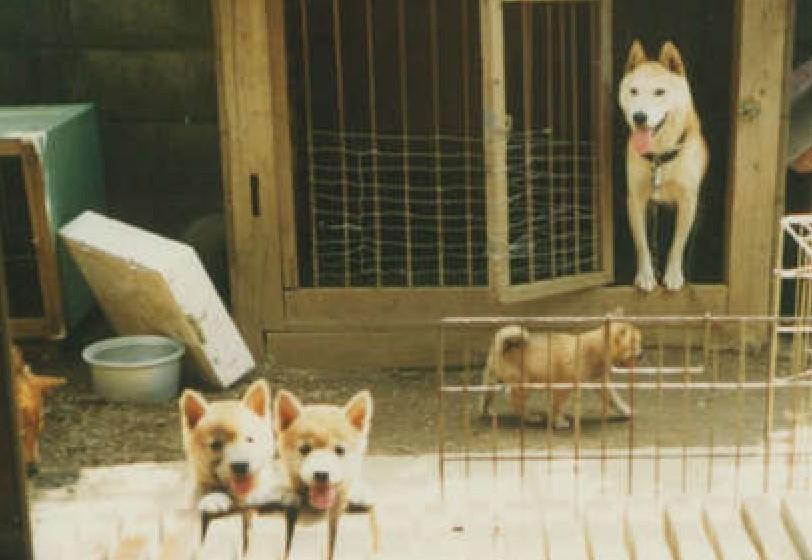 日本犬アーカイブ 犬にかけるお金(お金をあまりかけなかった昔 編)