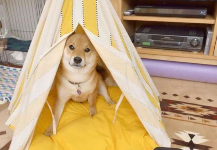 ウチのたらればDream犬(柴犬 あずきのDream編)