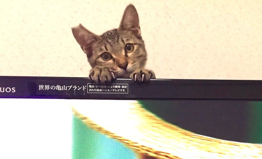【かまってニャ♪】テレビに夢中の飼い主さんを振り向かせたい!→ニャンコのアピールが可愛すぎる♡