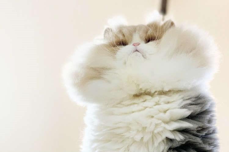 【圧倒的な毛量!!】にゃんこ界で異才の輝きを放つふわふわフェイス。果てしないボリュームに脱帽♪
