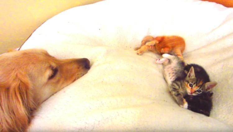 『ベッド貸してあげる♡』自分のベッドで戯れる保護子猫たちを、優しく見つめるワンコに… キュン♡