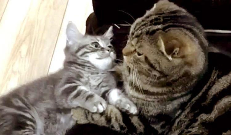 「なに…抱っこして欲しいの?」暇を持て余した子猫のかまって攻撃に、先輩ネコがとった優しい行動 ♡