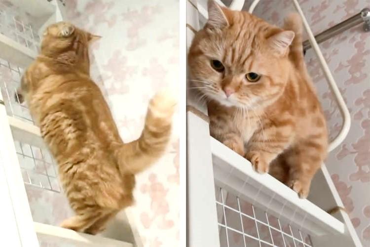 【マンチカンが階段を登るとこうなる!?】魅惑のステップで駆け上がる姿がとってもチャーミング♡
