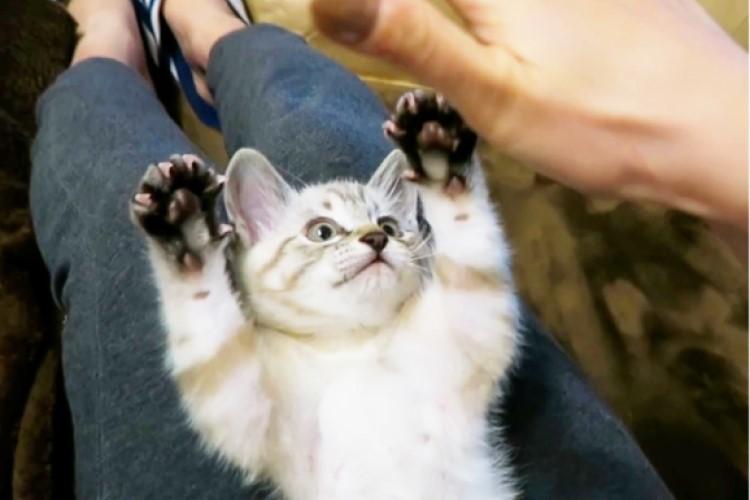 思わず「パーーッ!」ママさんの手につられちゃう子猫さん♪ バンザイで頑張る姿が微笑ましかった…♡