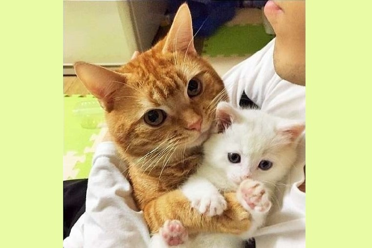 子ネコを預かったら → 先住ネコが「ぎゅーっ!」と抱きしめて離さなくなっちゃった(*´Д`)♡ 4枚