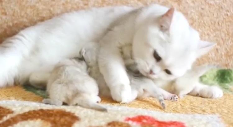 「手がかかる子ほど可愛いの…♡」子猫が生まれて大忙しの母猫。愛情いっぱいお世話する姿に心温まる!