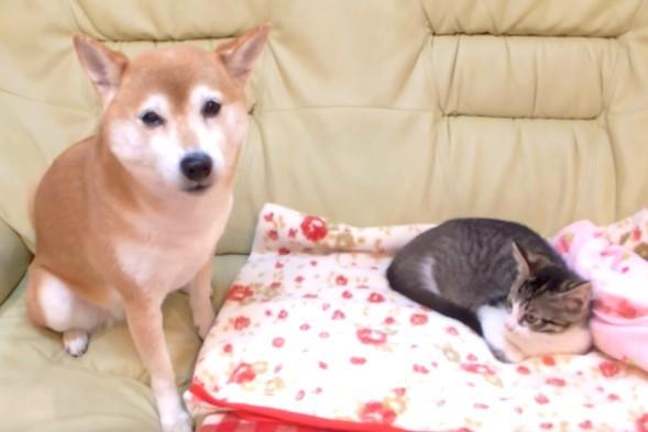 子猫の近くに行きたいけど、なかなか勇気がでない…  柴犬の『かわいい試行錯誤』をご覧ください♡