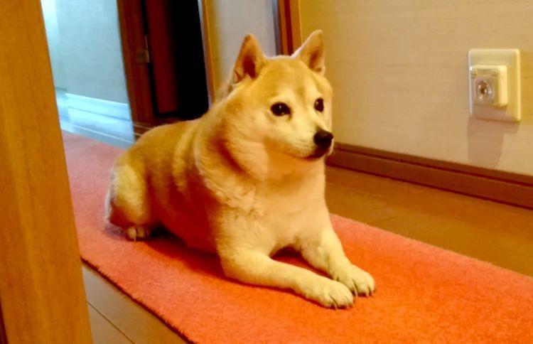大好きなパパの帰宅に気づいた柴犬 →この後見せた、激しすぎる『おかえり!』に… やられたーッ!!