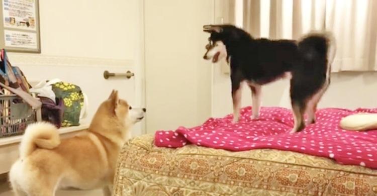 【まるで台風?】お兄ちゃんと今すぐ遊びたい黒柴妹♪ → 気持ちが爆発してスゴいことに(笑)