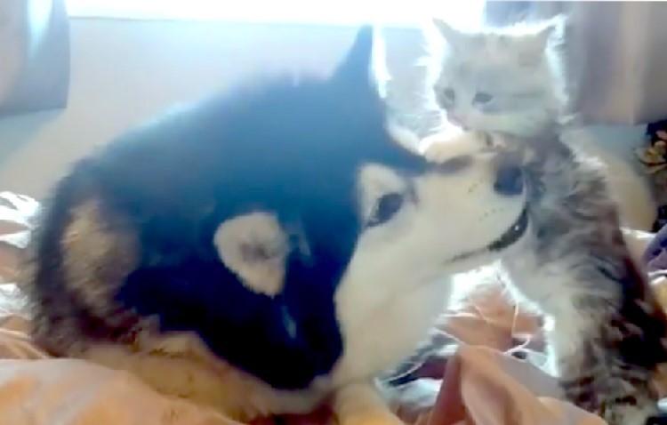 """お姉さんマラミュートと一緒に遊びたい子猫。その """"構って攻撃"""" が激しすぎた…Σ(゚Д゚)!"""