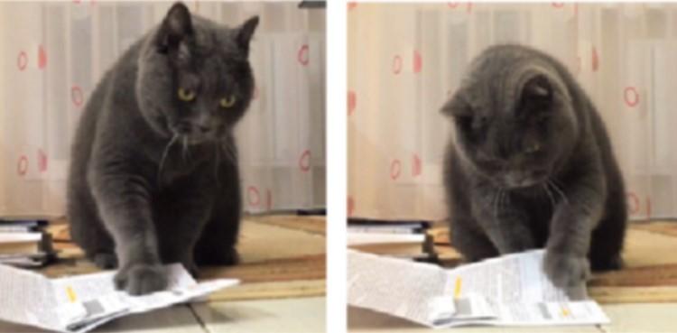 【これ何だニャ?】目の前の紙がどうしても気になる猫。肉球のペシペシが、止められなくなって…♡