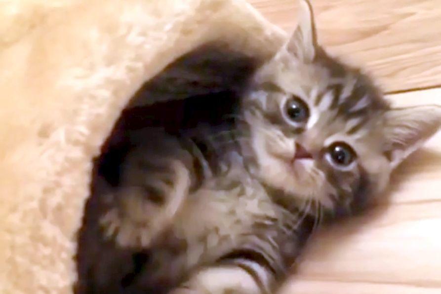 【にゃんこ界のアイドル降臨】遊びに夢中でもカメラ目線は決めてくる子猫ちゃんにメロメロ♡
