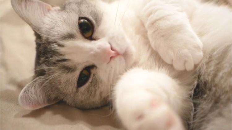 美猫の隣で飼い主気分♪ 添い寝してくれるニャンコが可愛すぎて雑念だらけ。余計眠れない(ノ´∀`)