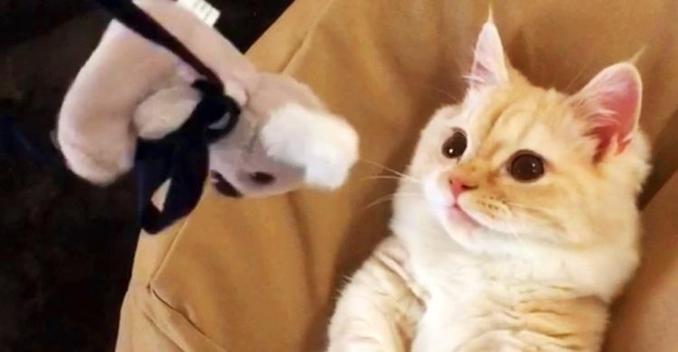 【コアラのぬいぐるみを奪還?!】マンチカンの子猫ちゃんの必死なけりけり姿に悶絶♡