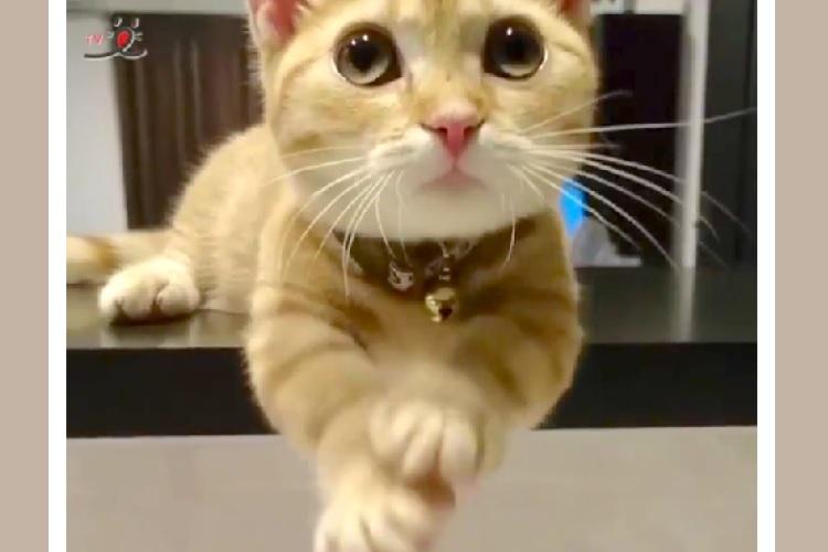 ママがキッチンに立つと始まる♡ 食いしん坊ネコちゃんによる止まらないおねだり攻撃 (艸д゚*)