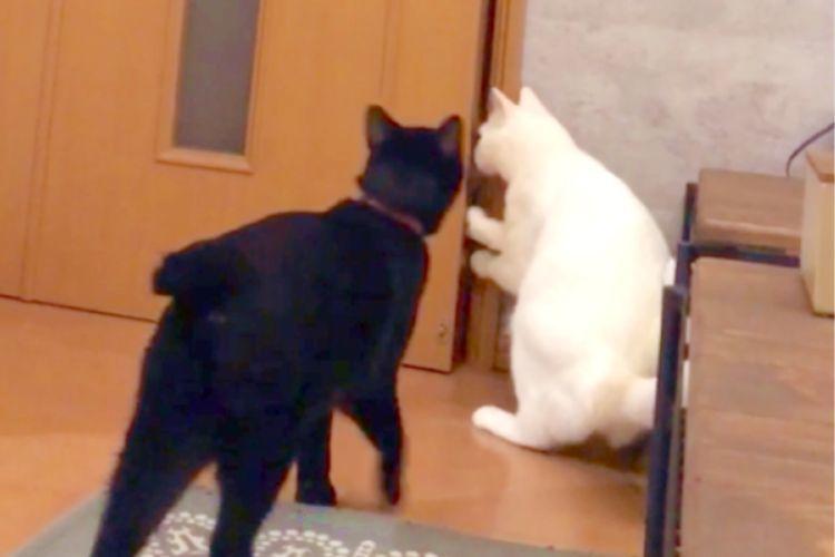 ドアを開けようと試行錯誤する猫たち。その姿をこっそり見守っていたら… 予想外の結末が(笑)