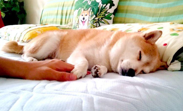 【手をにぎると、安心するの♪】お昼寝中の柴犬くん。パパと手をつないで熟睡する姿に、ほっこり♡
