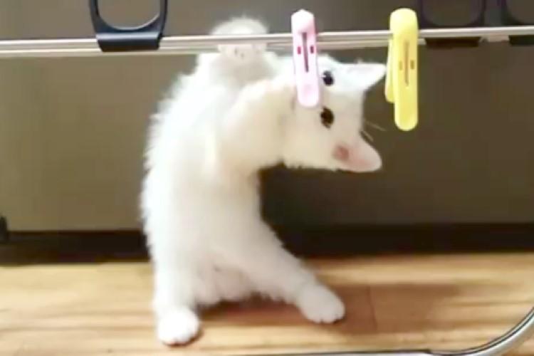 【これは何だニャ?】洗濯バサミと戦う子猫。あれこれ頑張る姿が…(*´艸`*)
