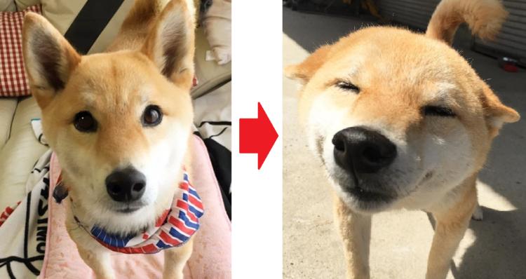 【柴犬スマイル♡】嬉しい事があるとお耳ペタンで、まんまる顔に変身しちゃう柴犬の笑顔にキュン(´ひ`)