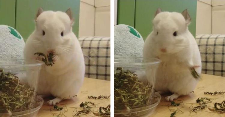 食べていたおやつを突然「ポイッ」とするチンチラ♡ → この行動には、かわいい理由がありました♪